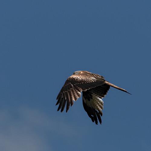 Red Kite 32