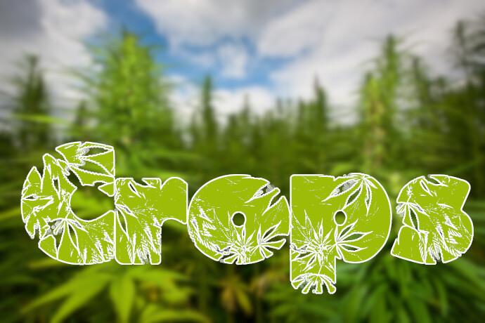 AdobeStock_25024581cannabishero