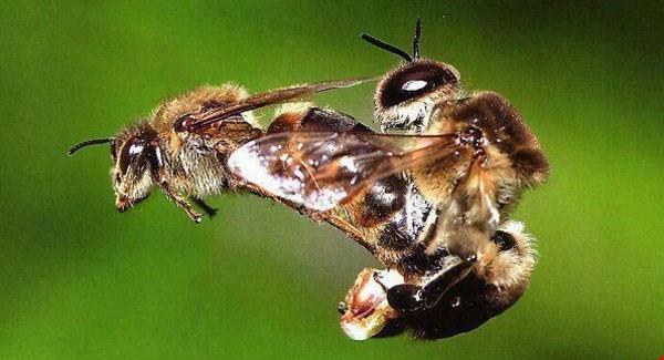 Bees-having-sex